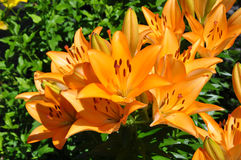 Many lilies (Lilium) of orange color Stock Image