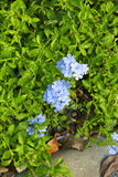 Many little blue flower Royalty Free Stock Photography