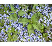 Many little blue flowers and Urtica dioica background. Top view. Spring background flowers royalty free stock photo