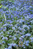 Many little blue forget me nots closeup Stock Photo