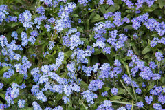 Many little blue forget me nots closeup Stock Photos