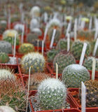 Many little cactuses are with tallies Stock Photos