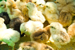 Many  little chicken farm Stock Image