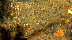 Many little fishes swimming in clear water.  stock video footage