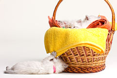 Many little kittens, towels and basket Stock Images