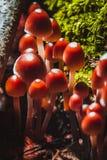 Many little mushrooms on a tree stump Royalty Free Stock Photos