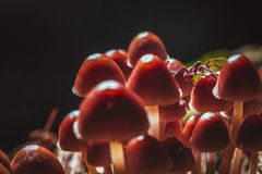 Many little mushrooms on a tree stump close-up Royalty Free Stock Image