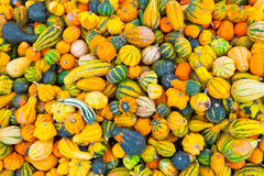 Many Little Pumpkins Royalty Free Stock Photo