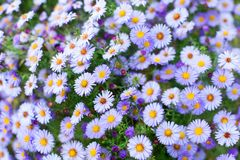 Many little purple daisy flowers close up, violet alpine aster wildflowers, delicate lilac floral background, beautiful chamomiles royalty free stock photos