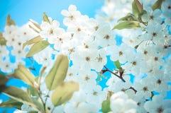 Many little white flowers blue background Royalty Free Stock Photo
