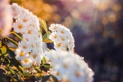 Many little white flowers Stock Image
