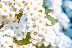 Many little white flowers Royalty Free Stock Photos