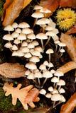 Many little white mushrooms Stock Photos
