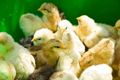 Many little yellow chicks Stock Photography