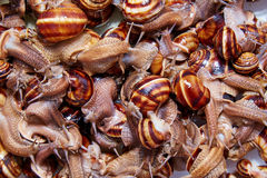 Many live snails creep Royalty Free Stock Images
