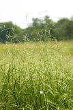 Many long leaf grass Royalty Free Stock Photo