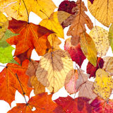 Many loose leaves Stock Images