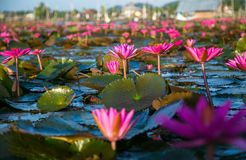 Free Many Lotus Stock Photography - 54788962