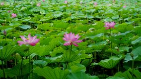 Many lotus flowers are standing in pond in summer. Many pink lotus flower are standing in water in summer.the flower is colorful and the leaves are green.They royalty free stock image