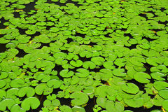 Many lotus leaf Stock Photos