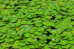 Many lotus leaf Royalty Free Stock Photos