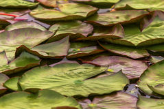 Many lotus leaf on pond. The leaves of lotus in the pond Stock Photography