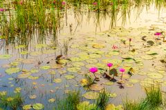 The lotus pond have many lotus. Many lotus in the pond look beautiful purple flowers of lotus Royalty Free Stock Photography