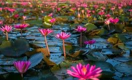 Many lotus Royalty Free Stock Photo
