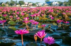 Many lotus Stock Photos
