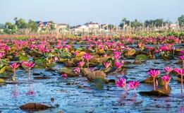 Many lotus Stock Photo