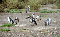 Many magellanic penguins digging burrow Stock Photo