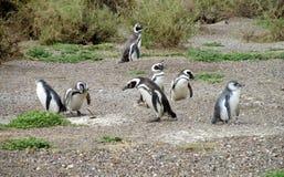 Many magellanic penguins digging burrow Stock Photo