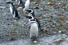 Many magellanic penguins in Magdalena island, Chile Royalty Free Stock Images