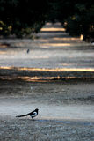 Many Magpies in the boulevard of pine in a Chinese park, very quite and peaceful Royalty Free Stock Photography