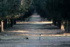 Many Magpies in the boulevard of pine in a Chinese park, very quite and peaceful Royalty Free Stock Image
