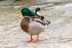 Many male mallard ducks at the river shore anas platyrhynchos royalty free stock photos