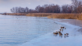 Many mallards on the lake Balafon of Hungary. In winter Royalty Free Stock Photography