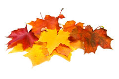 Many maple fall colored leaves Stock Image