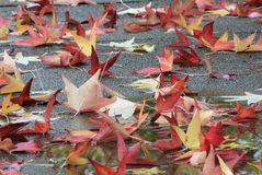 Tuscany, Italy, maple leaves in autumn colors fallen on a street in a city park stock photos