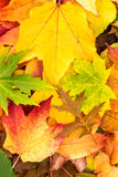 Many maple leaves lie on one another Royalty Free Stock Image
