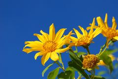 Many marigold flowers or Mexican sunflowers and blue sky backgrounds, stock image