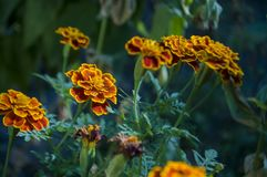 Many marigolds flowers on the autumn flower-bed.  Royalty Free Stock Photography