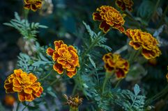 Many marigolds flowers on the autumn flower-bed.  Stock Image