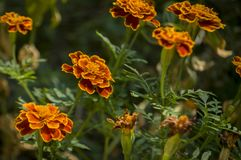 Many marigolds flowers on the autumn flower-bed.  Stock Photo