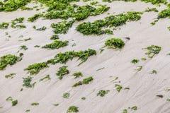 Many marine algae collected from the shore Stock Photo