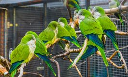 Many monk parakeets sitting together on branches in the aviary, popular pets in aviculture, tropical birds from Argentina. Many monk parakeets sitting together stock photography