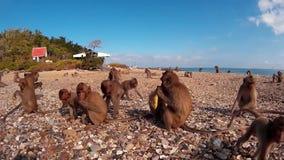 Many monkeys on the seashore stock footage