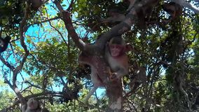 Many monkeys are sitting on a tree stock footage