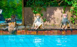 Many monkeys swim in the pool, eat play and bask in the sun, the tropics. stock images