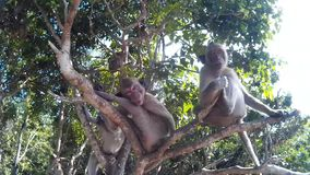 Many monkeys are on a tree and loking at the camera stock video footage